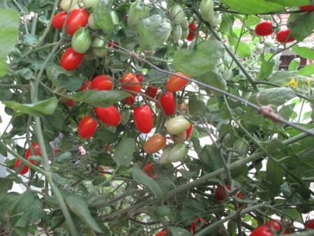 Hiện vườn của chị Huyền có khoảng 10 cây cà chua bi luôn trĩu quả.