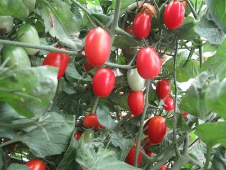 Do tự tay trồng nên ngày nào chị Huyền cũng hái những trái cà chua chín đỏ cho gia đình ăn sống.