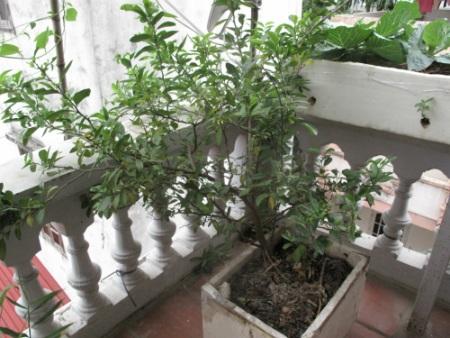 Cây chanh đào được chị Huyền trồng cách đây 3 năm.