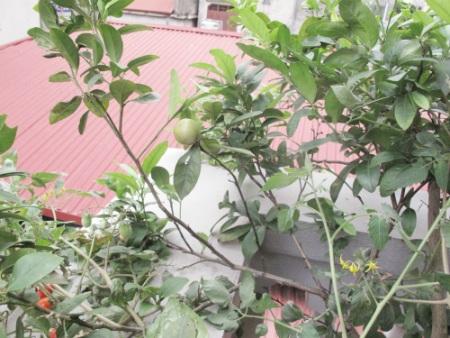 Vào mùa, cây chanh ra quả rất sai. Ngoài việc dùng hằng ngày, chị còn dùng chanh ngâm lấy nước.