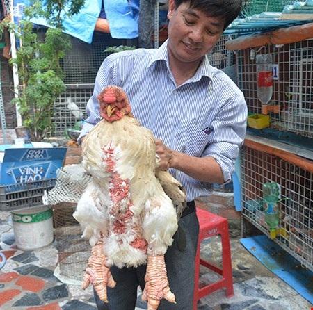 Gà Đông Tảo chân to, vẩy thịt tròn đều, dáng đẹp… giá lên đến 10 triệu đồng/con. Ảnh: Quang Huy