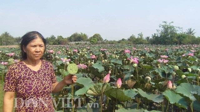 Chị Rỗng trồng sen có lãi trên 5 triệu đồng/tháng.