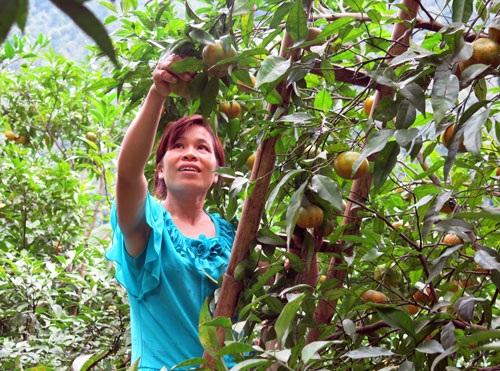 Gia đình chị Chu Thị Niên hiện có hơn 400 cây quýt, bắt đầu thu hoạch từ năm 2013. Ảnh: Nguyễn Lê