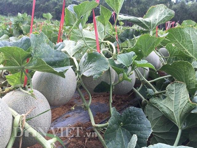 Lão nông U60 tự tin đầu tư trăm triệu trồng dưa ngoại - 1