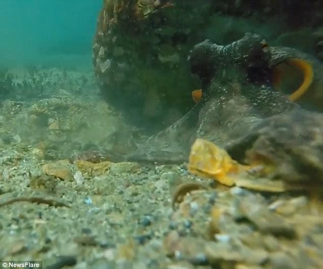 Người thợ lặn tìm thấy con bạch tuộc nằm dưới một tảng đá.