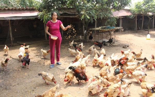 Bà Nguyễn Thị Mộc chăm sóc đàn gà Đông Tảo tiền tỷ của gia đình.  Ảnh: Đức Thịnh