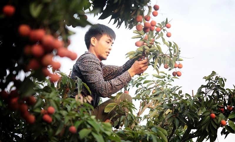 Cứ vào tháng 6 hằng năm, người dân huyện Lục Ngạn (Bắc Giang) lại tất bật vào mùa thu hoạch vải thiều chín. Năm nay, dù sản lượng vải trên toàn tỉnh chỉ đạt khoảng 70%, thế nhưng người nông dân vẫn hi vọng giá vải sẽ tăng so với năm ngoái.