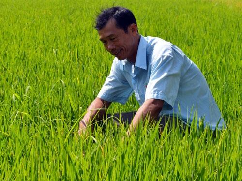 Trồng lúa theo hợp đồng, lão nông thu nửa tỷ mỗi năm - 1