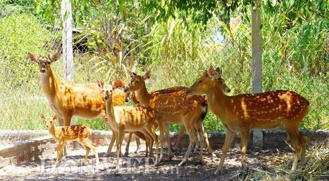 Đàn hươu tại gia trại của ông Đào.
