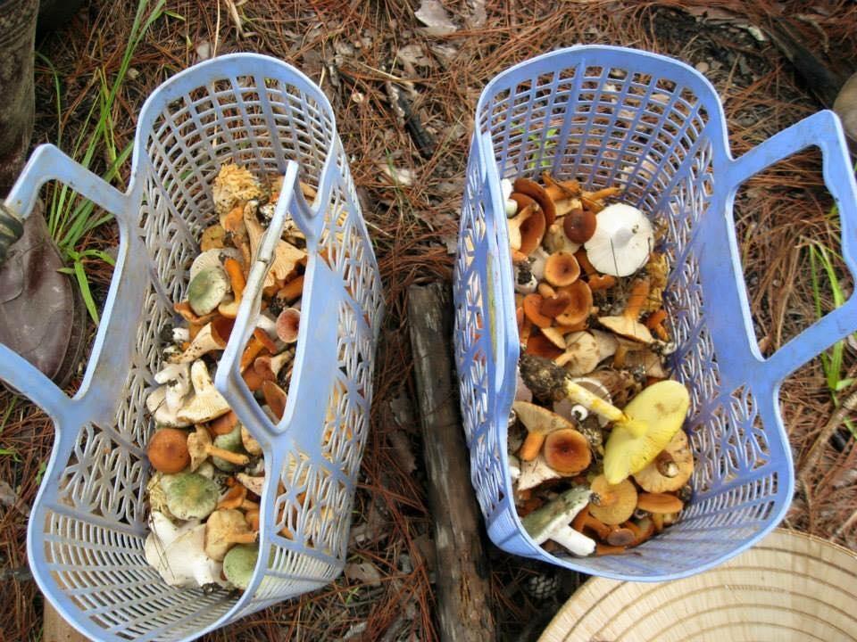 Vào mùa mưa, người dân Đà Lạt vào rừng thông hái nấm đem về ăn hoặc bán