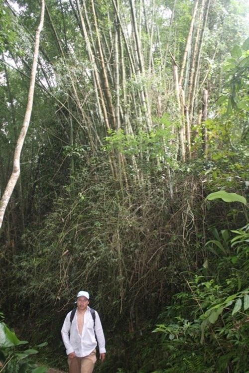 Già làng Long Riêu 3, ông Hồ Văn Thạch cho biết, loài tre này chỉ có ở khu vực núi Ngọc Lan. Dân làng nhiều lần thử mang loài tre mà họ gọi là tre Thánh Gióng này về trồng nhưng không thành công.