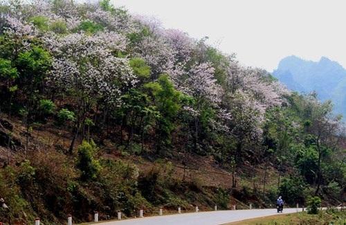 Hoa ban nở trắng rừng Tây Bắc - 1