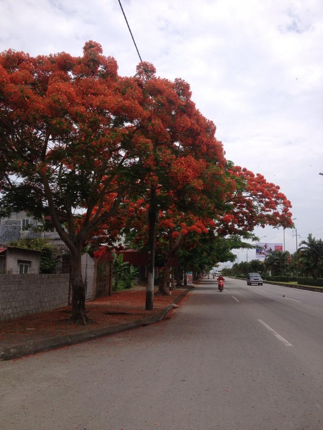 Ngắm vẻ đẹp nao lòng của đường hoa phượng dài nhất Việt Nam - 1