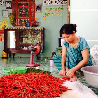 Người lao động lặt ớt tại huyện Thanh Bình