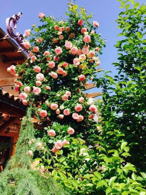 Thời điểm tháng 5, tháng 6, hoa hồng trong vườn nhà chị Thảo nở rộ