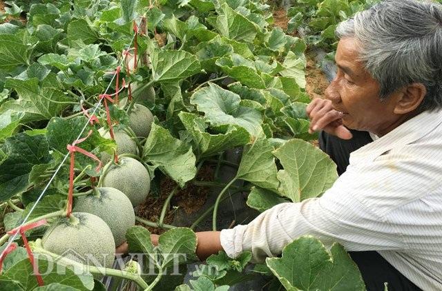 Ông Việt đang kiểm tra dưa trồng của mình.