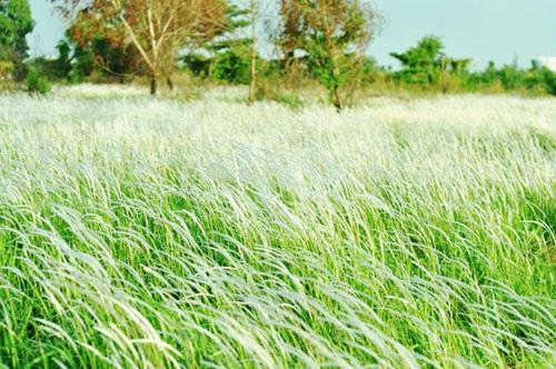 Cánh đồng cỏ lau đẹp như tranh giữa Sài Gòn - 6