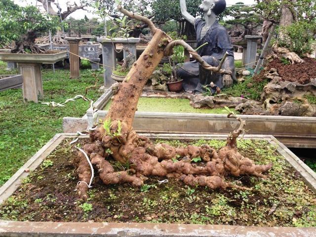 Một cây bưởi...với bộ rễ cổ quái nhìn như những củ sâm hàng trăm năm tuổi đang... bò trên mặt đất.