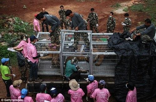 Hổ được tiêm thuốc mê rồi đưa lên xe tải về các khu bảo tồn