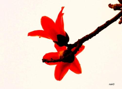 Yêu lắm mùa hoa Gạo tháng Ba - 10