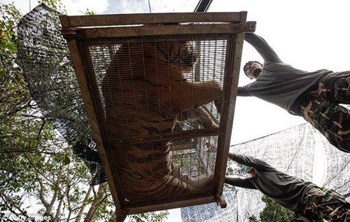 Lực lượng cảnh sát cho biết, họ sẽ cố gắng vận chuyển 20 con hổ/ngày trong điều kiện thời tiết mát mẻ