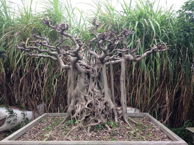 Mê mẩn vườn cây cảnh triệu đô đẹp nhất Hà thành - 11