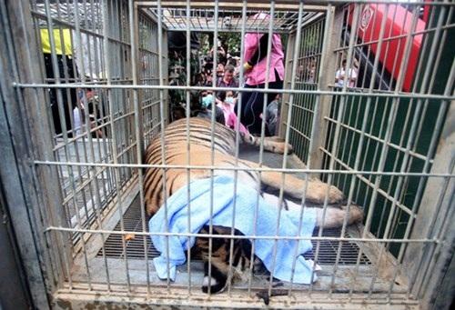 Những hình ảnh không thể tin nổi trong ngôi đền Hổ nổi tiếng ở Thái Lan - 12