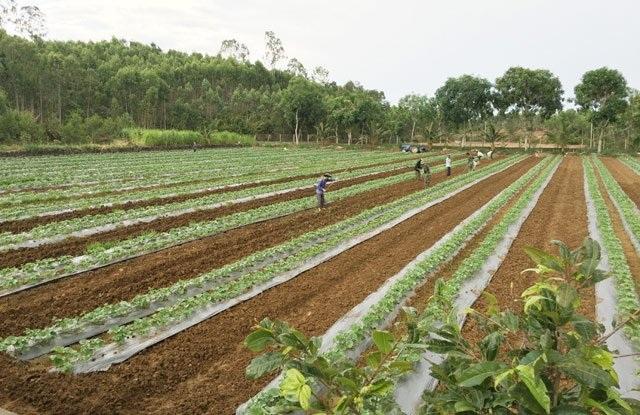 Số diện tích trồng sau hiện cũng đang phát triển tốt.