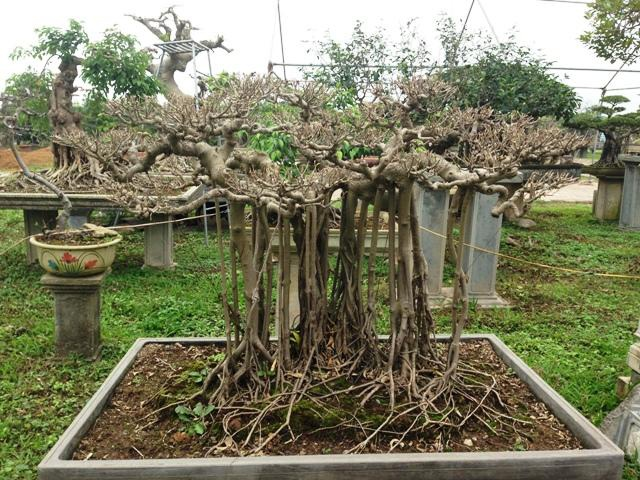 Cặp sanh dáng làng được tỉa lá chờ ra dăm vào dịp Tết nguyên đán.