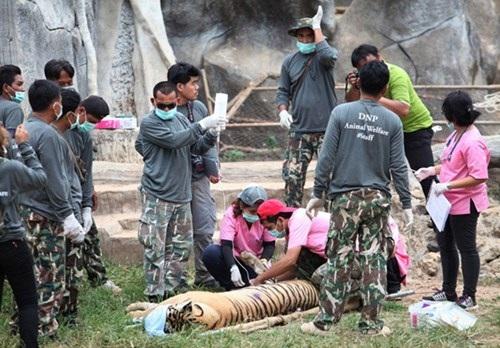 Những hình ảnh không thể tin nổi trong ngôi đền Hổ nổi tiếng ở Thái Lan - 13