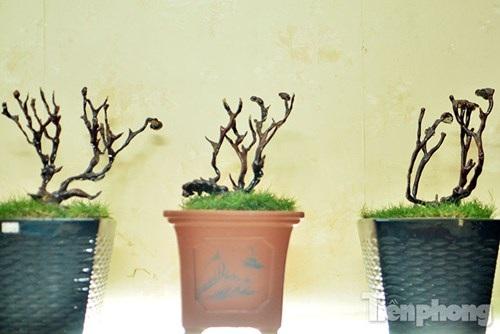 Theo quan niệm nấm linh chi được biết đến là loài nấm quý, đẹp và độc đáo, được nhiều người chọn làm đồ trang trí trong nhà hay làm quà tặng, biếu trong dịp Tết.