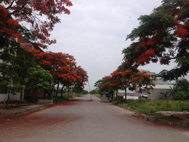 Ngắm vẻ đẹp nao lòng của đường hoa phượng dài nhất Việt Nam - 13