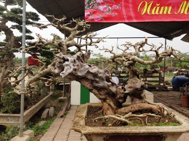 Mê mẩn vườn cây cảnh triệu đô đẹp nhất Hà thành - 13