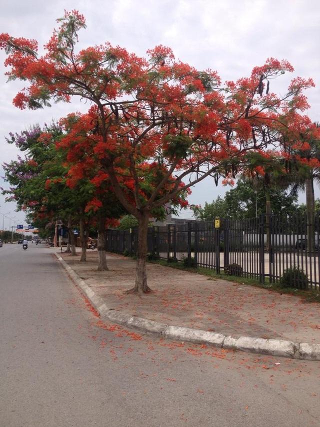 Ngắm vẻ đẹp nao lòng của đường hoa phượng dài nhất Việt Nam - 15