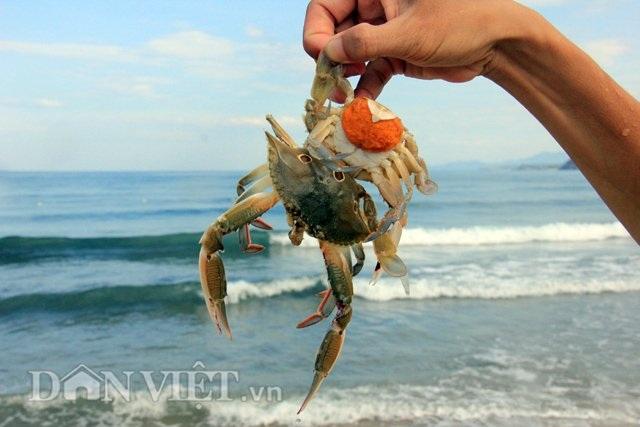 Loại ghẹ đánh bắt bằng lồng ở vùng biển sát bờ của Sa Huỳnh chủ yếu là ghẹ sao