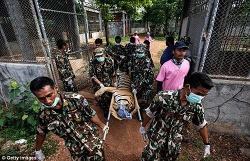 Những hình ảnh không thể tin nổi trong ngôi đền Hổ nổi tiếng ở Thái Lan - 15
