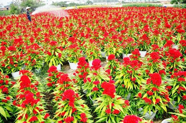 Ảnh: Cánh đồng hoa đẹp như tranh vẽ giữa Sài Gòn - 2