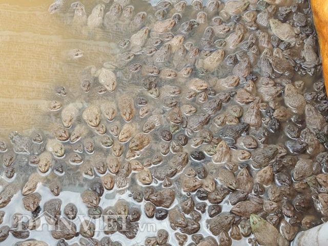 Những chú ếch được ông nuôi trong hồ chuẩn bị xuất bán.