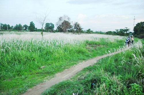 Cánh đồng cỏ lau đẹp như tranh giữa Sài Gòn - 2