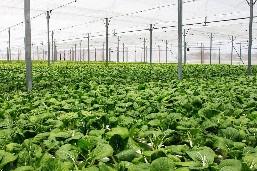 Sau 6 tháng khởi công tại Tam Đảo (Vĩnh Phúc), VinEco đã đón những sản phẩm nhà kính đầu tiên gồm hơn 20 loại rau mầm và 12 loại rau thuỷ canh
