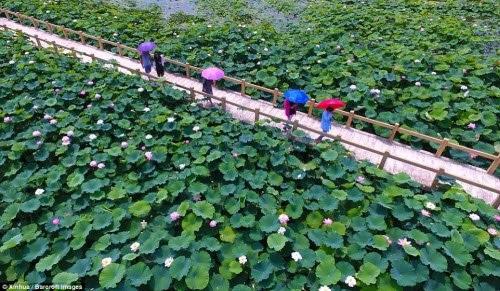 Lạc giữa hồ hoa sen đẹp mê hồn ở Trung Quốc - 2