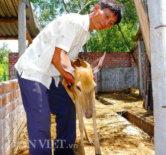Ông Nguyễn Bá Đào đang cẩn thận chăm sóc đàn hươu của mình.