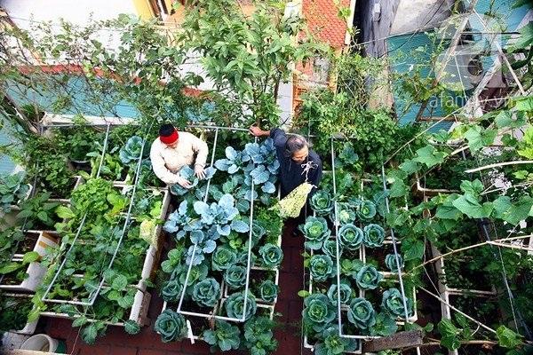Nhiều người trồng rau trên sân thượng sử dụng phân dơi để bón cho rau, giúp rau xanh tốt