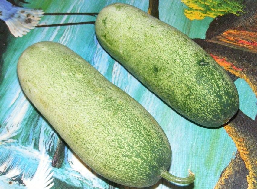 Loại dưa này có trọng lượng cực khủng, quả nặng nhất có thể lên tới 1,5-2kg