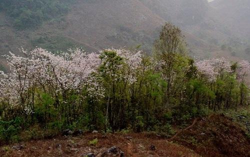 Hoa ban nở trắng rừng Tây Bắc - 2