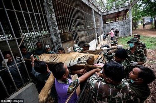 Hổ được nuôi nhốt trong đền và là động vật thu hút khách du lịch đến đây tham quan chụp ảnh lưu niệm