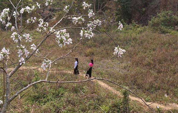 Thiếu nữ Thái e ấp bên hoa ban rừng tháng 3 - 7