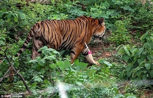 Hổ được giải cứu khỏi đền và đưa về khu bảo tồn động vật hoang dã.