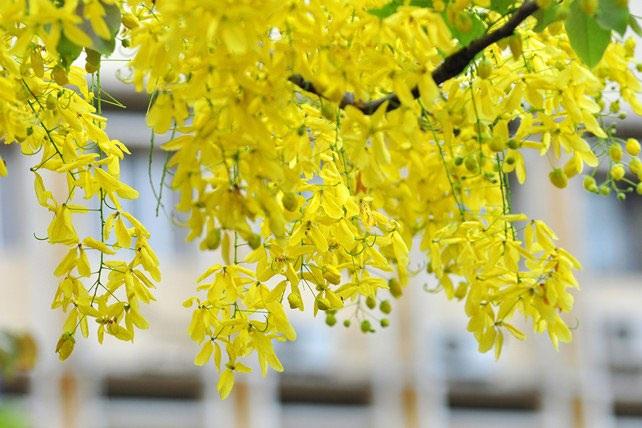 5 loài hoa khiến Hà Nội thơ hơn giữa mùa hạ cháy - 10