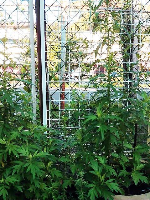 Rau ngót, rau ngải cứu giống Việt được trồng trên đất Malaysia